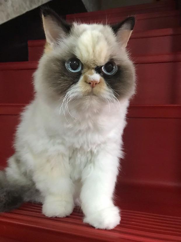 dühös  grumpy cat meow-meow