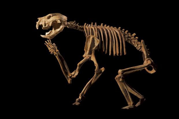 Ausztrália ragadozó oroszlán erszényes csont