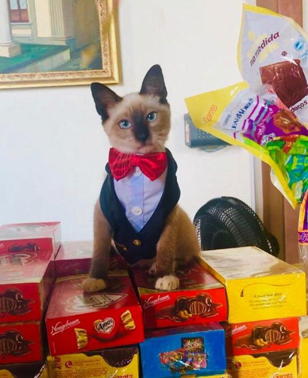 macska kóbor brazil ügyvéd