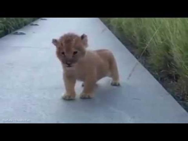 oroszlán  kölyök ordít