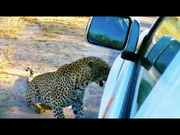 leopárd szafari terepjáró harap