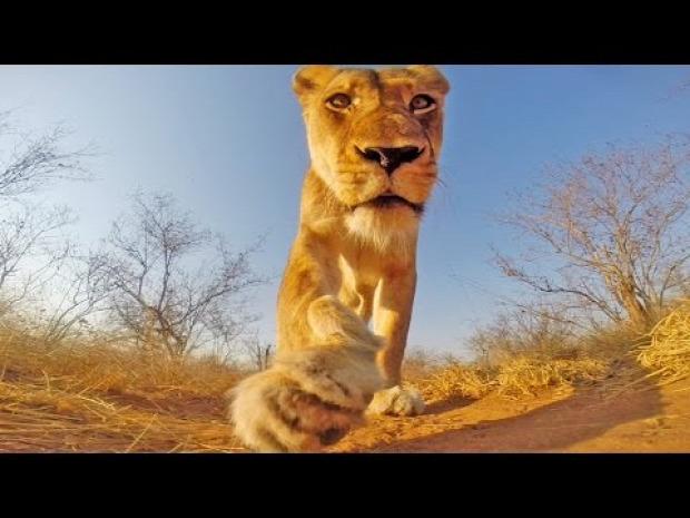 oroszlán kamera