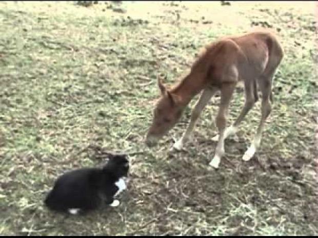 ló csikó