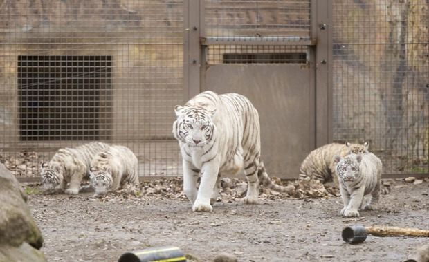 Győr állatkert fehér tigris kölyök