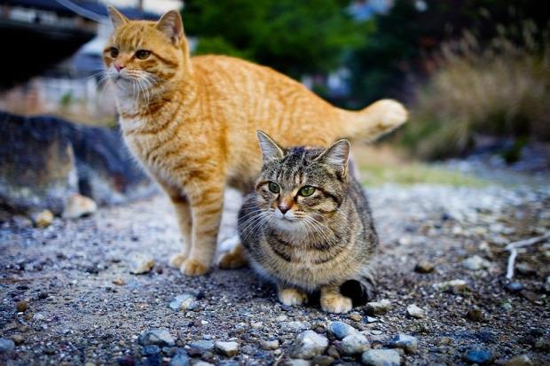 Ausztrália macska elvadult környezeti katasztrófa