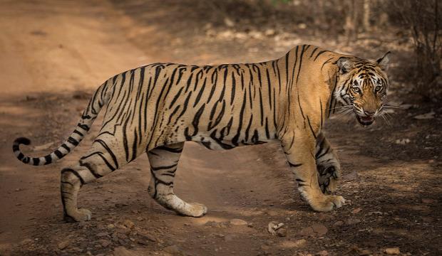 Tigris vadászat hajtás gyilkos emberevő