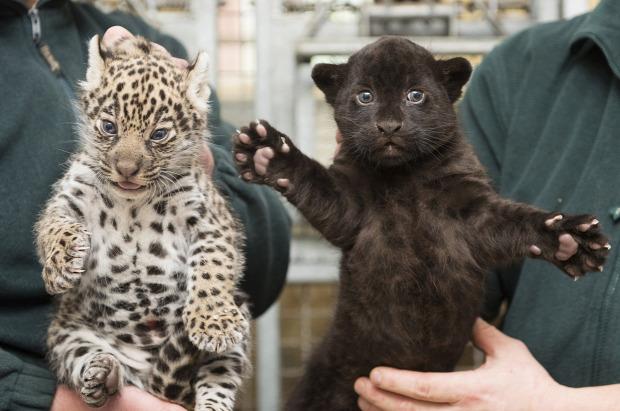 jaguár Nyíregyházi Állatkert kölyök iker