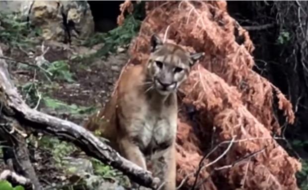 leopárd hegyi oroszlán séta találkozás
