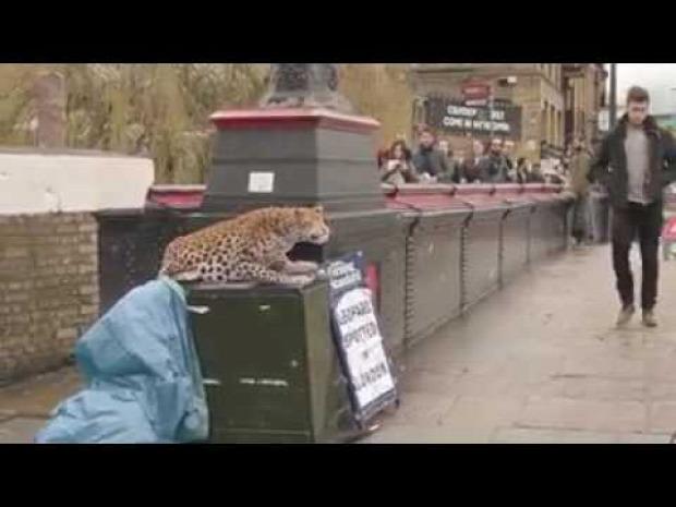 Leopárd szökés reklám