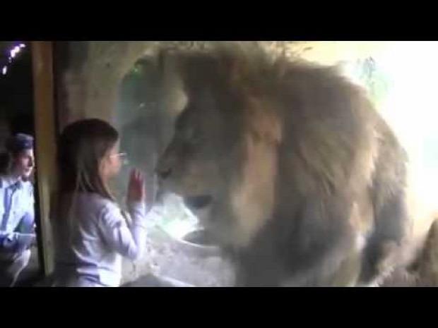 oroszlán állatkert üvegfal
