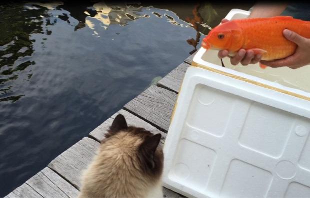 tó medence koi ponty