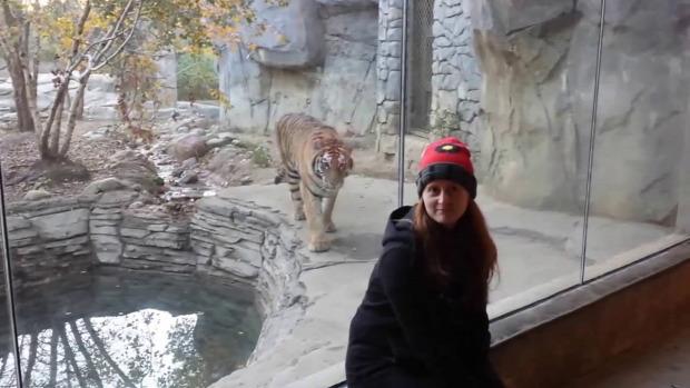 tigris szibériai vadászik állatkert üveglap