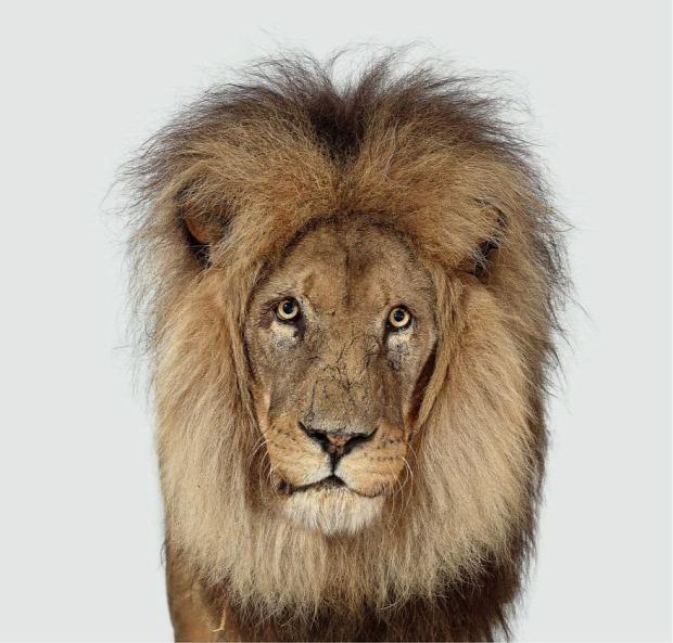 oroszlán manzi