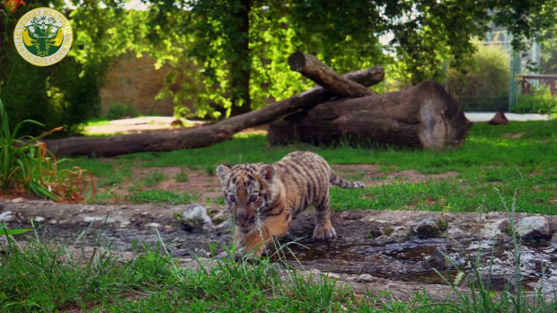Debrecen Állatkert szibériai tigris kölyök