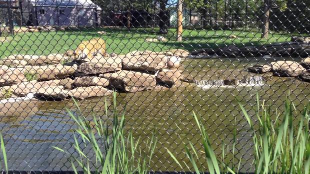 kacsa tigris