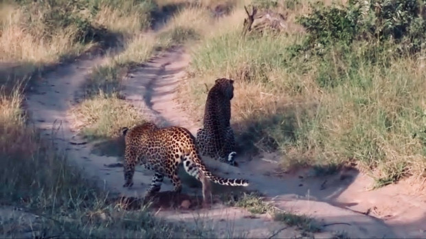 leopárd lopakodó