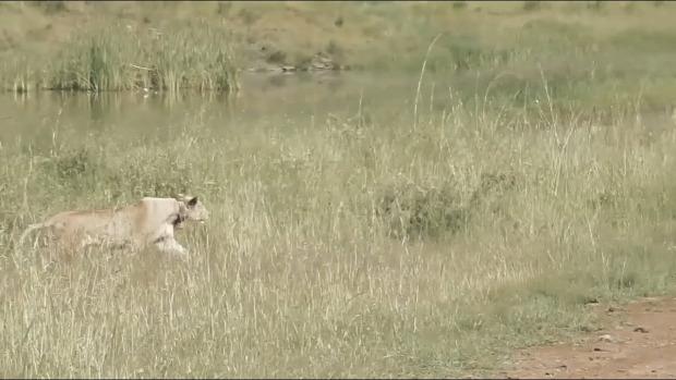 oroszlán gazella vadászat lopakodás