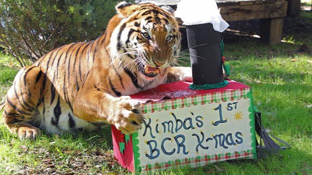 tigris oroszlán nagymacska menhely karácsony