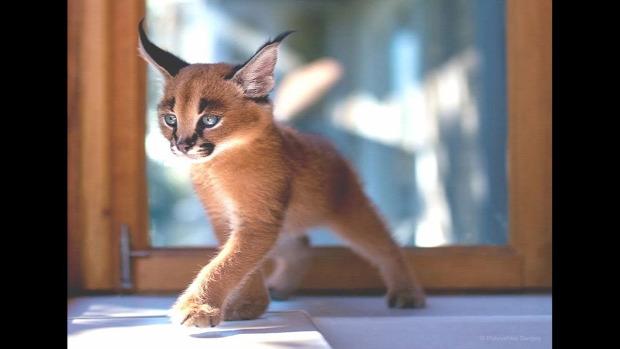kölyök cica karakál