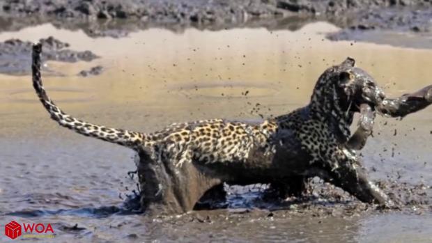 leopárd hal vadászat