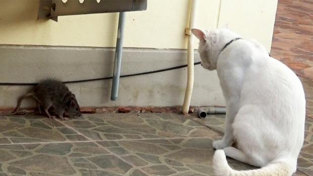 patkány harc szorlult helyzet