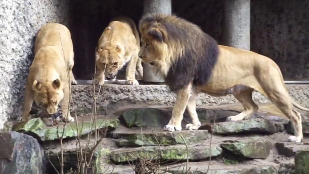 oroszlán állatkert kacsa vadász