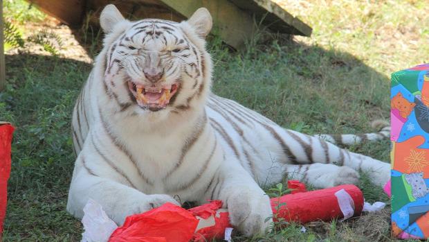 Karácsony ajándék oroszlán tigris