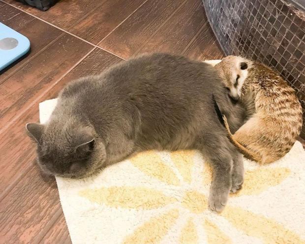 szurikáta  barátság