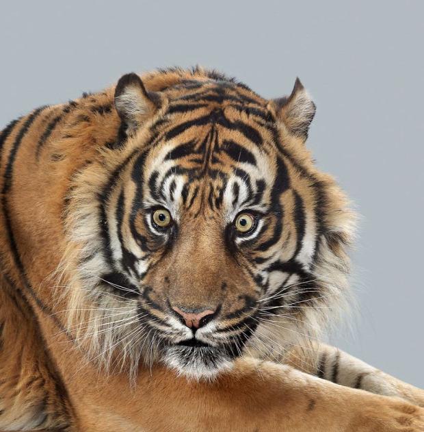 tigris szumátrai