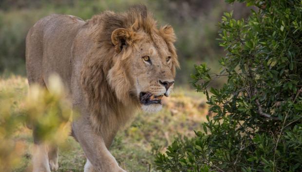 berber oroszlán kölyök