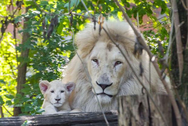 Szeged Szonja fehér oroszlán kölyök