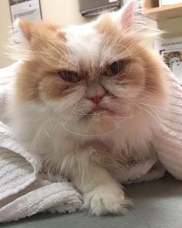 Grumpy cat Louis új