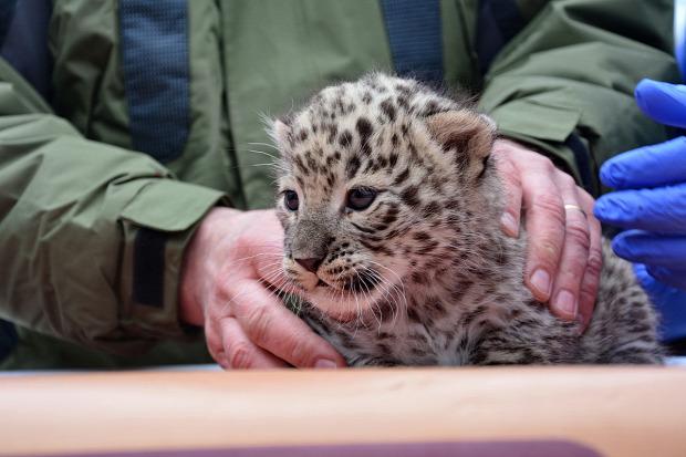 leopárd kölyök állatkert Miskolc