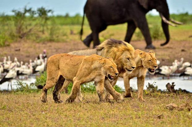 oroszlán Kruger nemzeti park szökés