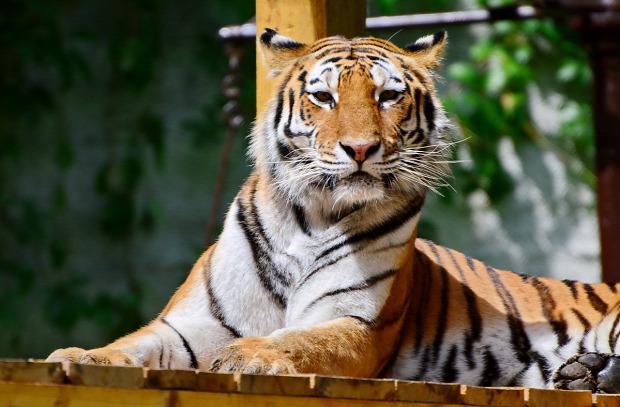 Miskolc állatkert szibériai tigris