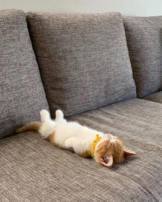 munchkin tacskómacska alvás hanyatt