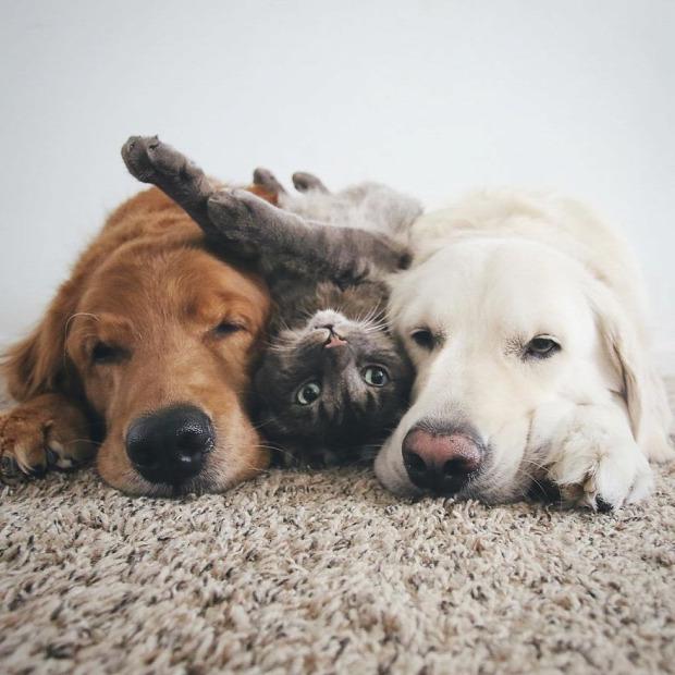 barát három retriever