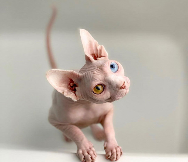 szfinx heterokromia csupasz kopasz szem