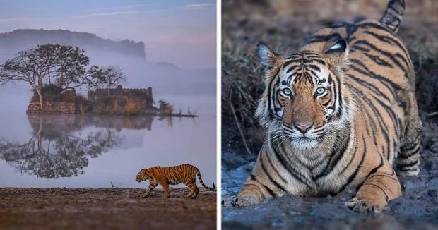 tigris india