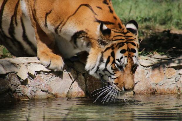 tigris szem folt fül