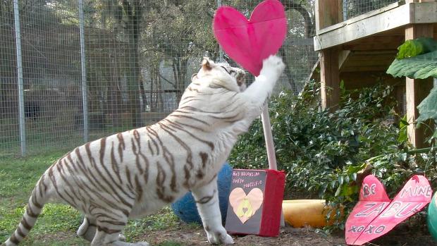 nagy macska mentés valentin-nap