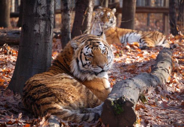 szibériai tigris amuri leopárd szarvas tenyésztés élelem