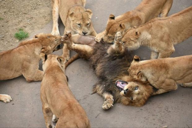 oroszlán hímű nöstény