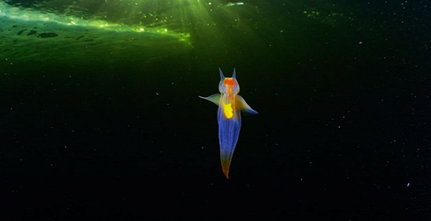 tenger jég tengeri angyal puhatestű