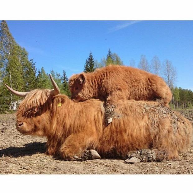 A világ érdekes skót marha boci