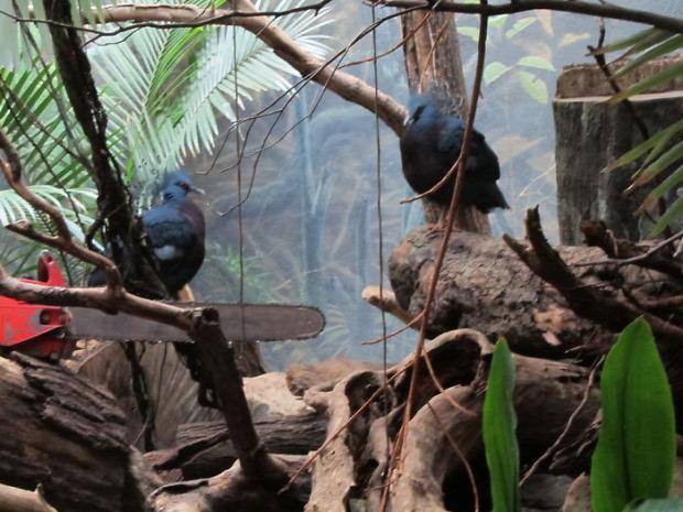 A világ érdekes galamb Uj-Guinea legyezős koronásgalamb