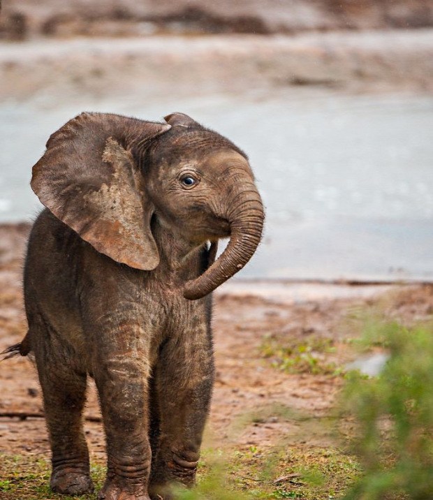 A világ érdekes elefánt kölyök