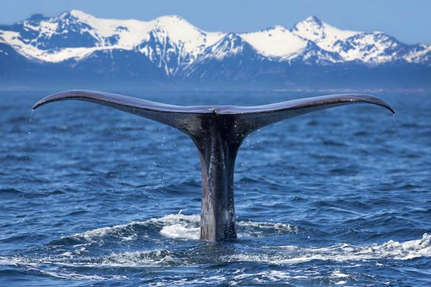 bálna vadászat kihalás