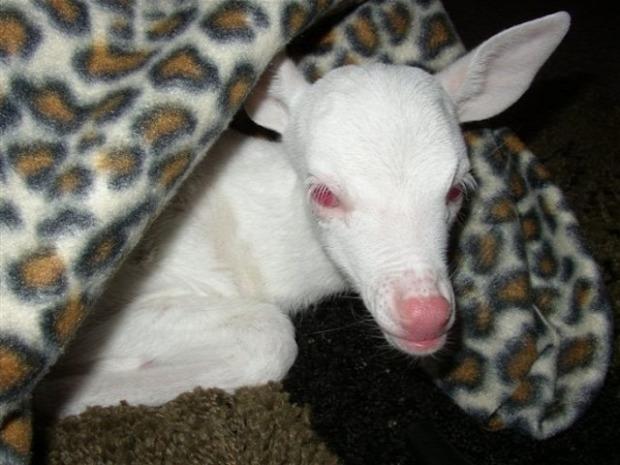 A világ érdekes állat albinó