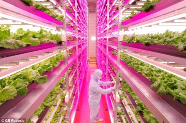 japán robot kertészet saláta